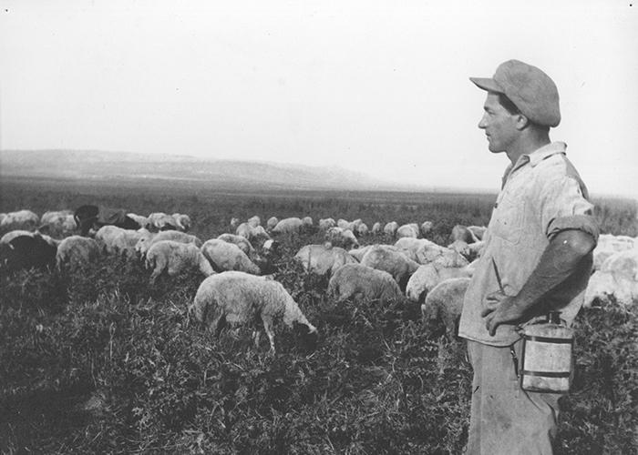 עדר כבשים