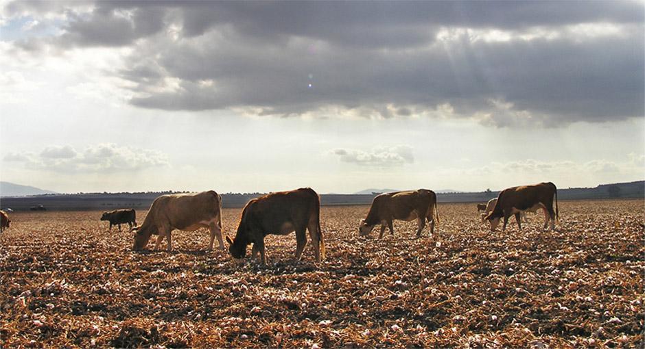 Grazing beef cattle