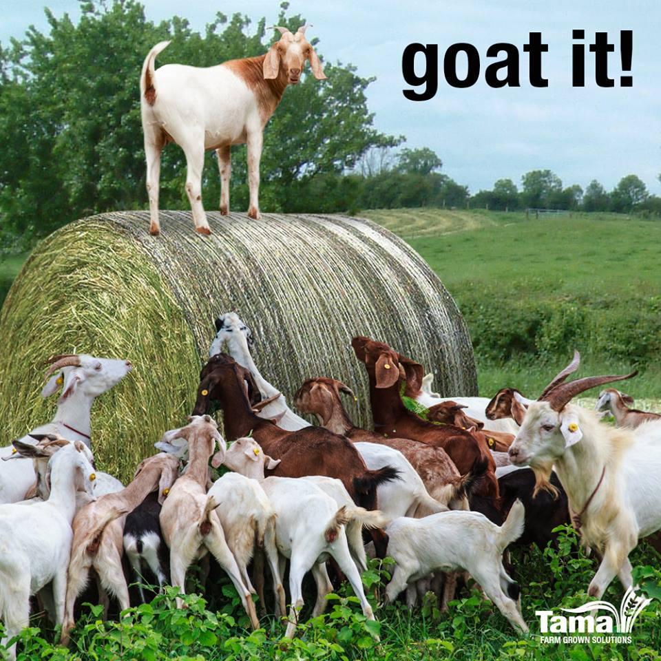 goat it