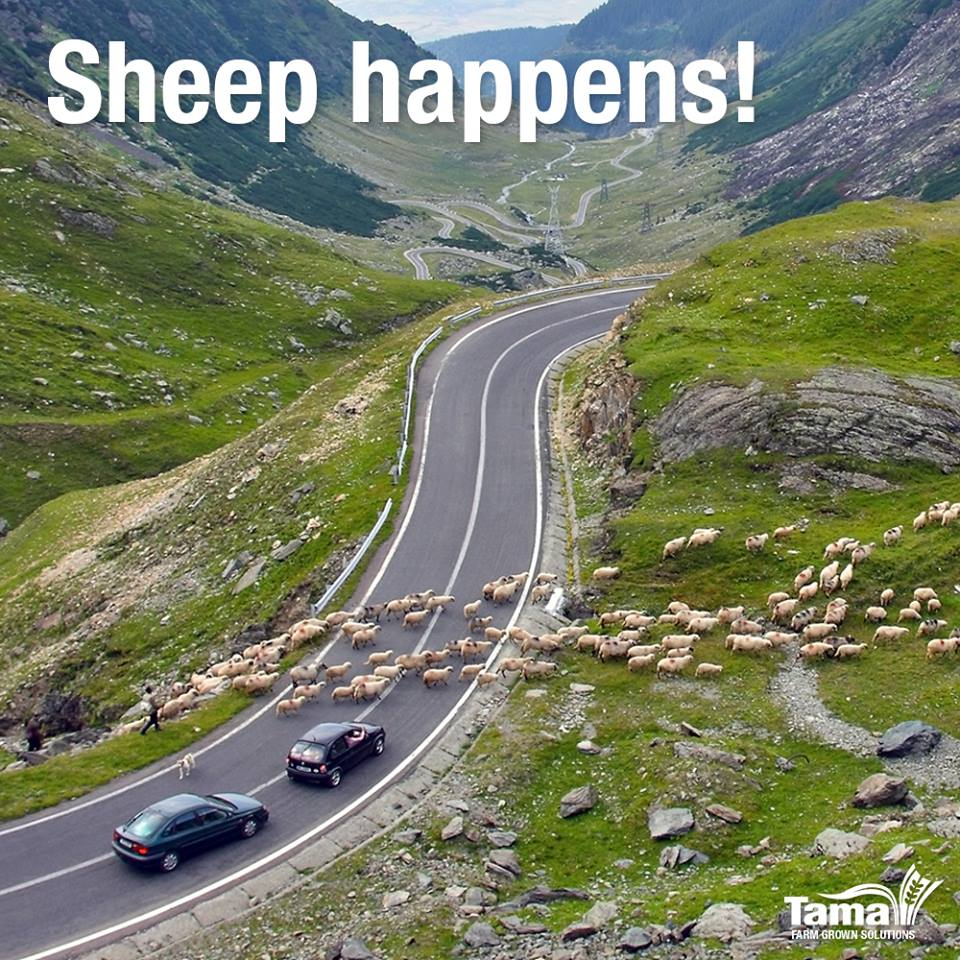 Sheep Happens!