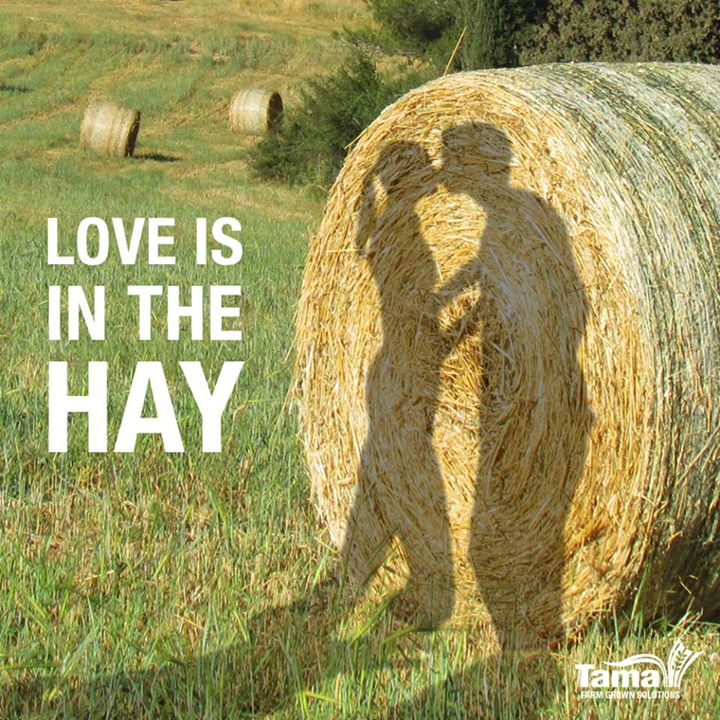 love is in the hay tama