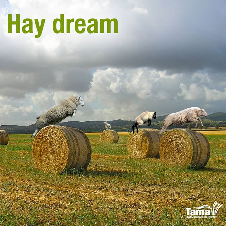 Hay dream