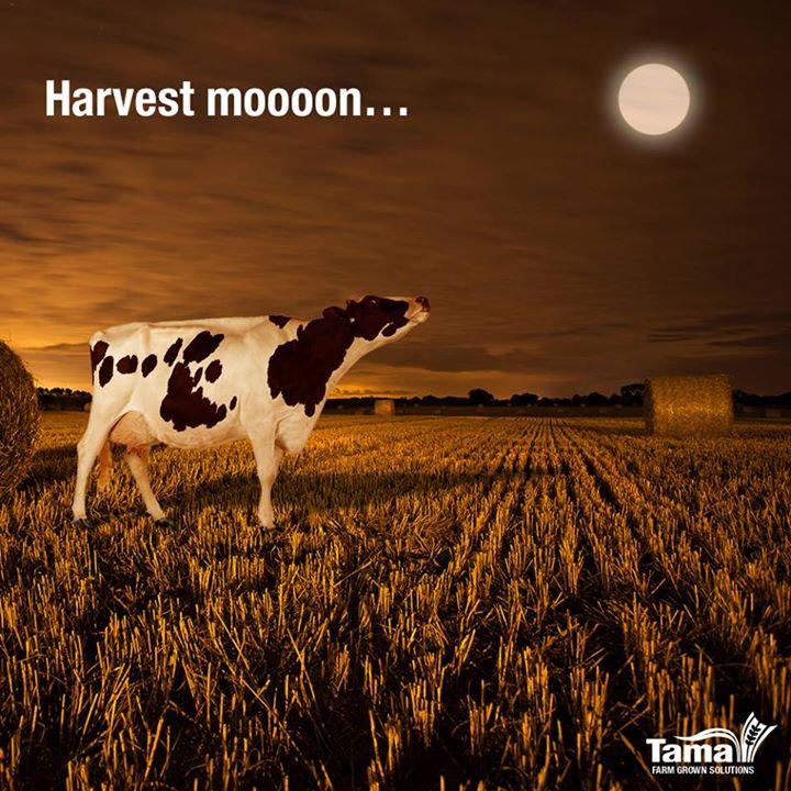 Harvest moooon