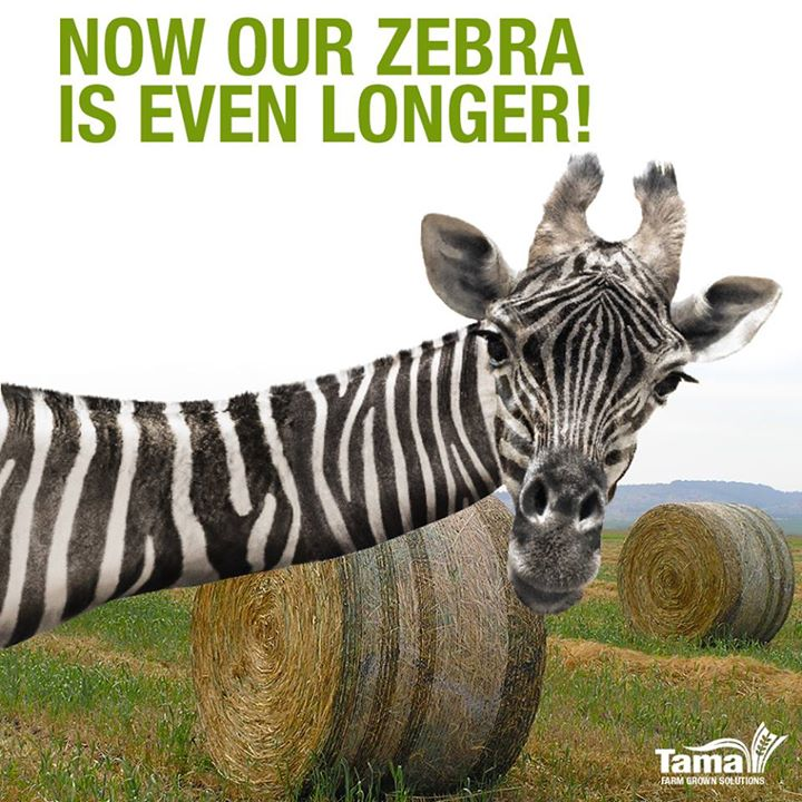 Now our Zebra is even longer