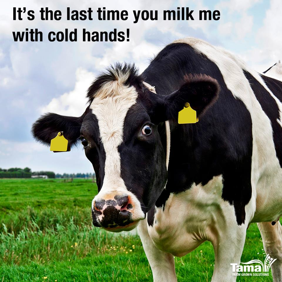 It's the last time you milk me with cold hands!